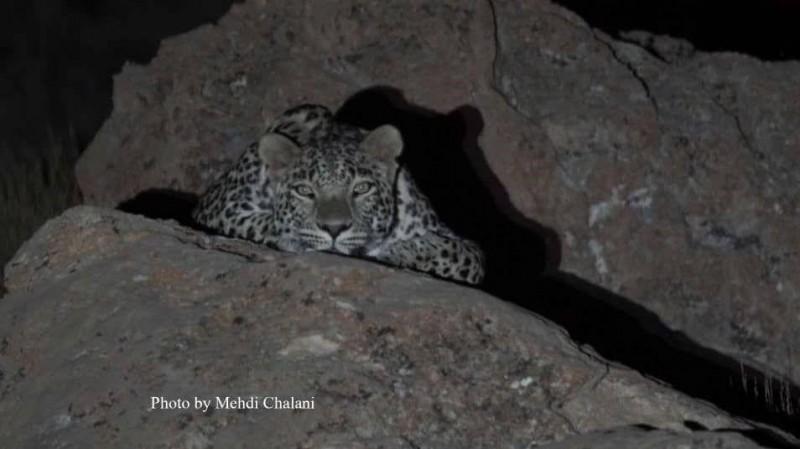 На севере Ирана обнаружены детеныши леопардов