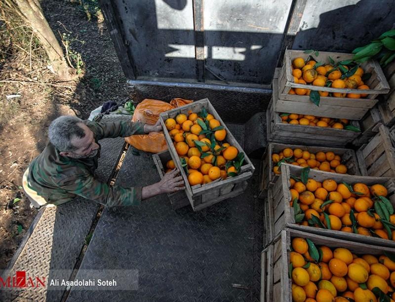 Сбор урожая апельсинов на севере Ирана