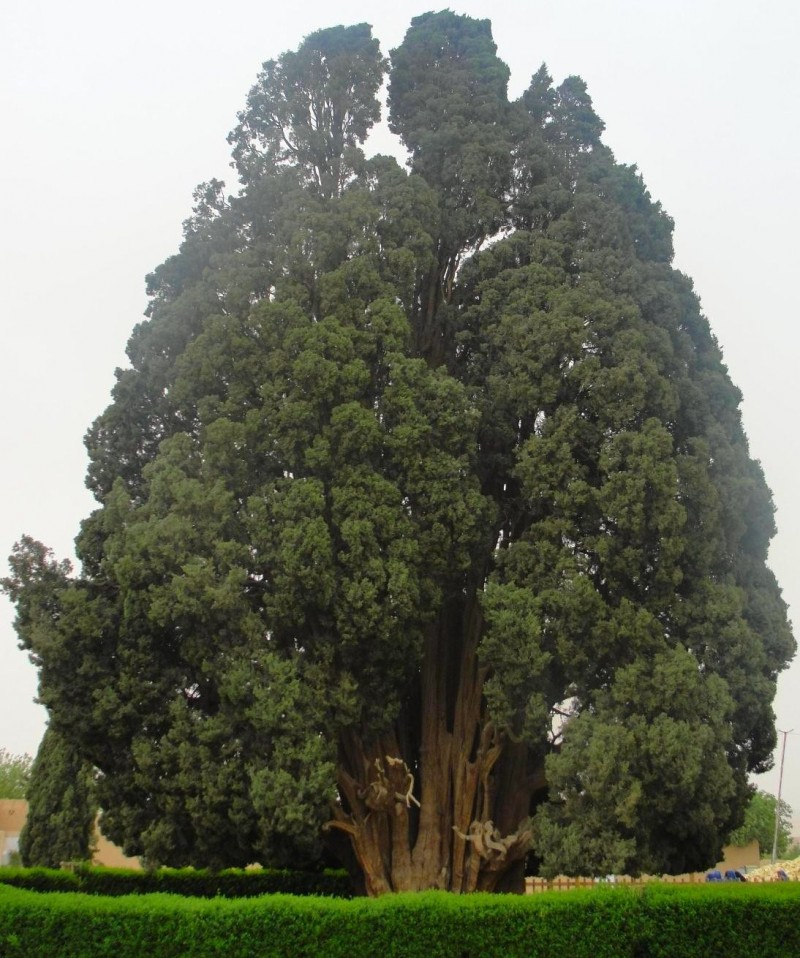 иран эберку йезд кипарис дерево ЮНЕСКО
