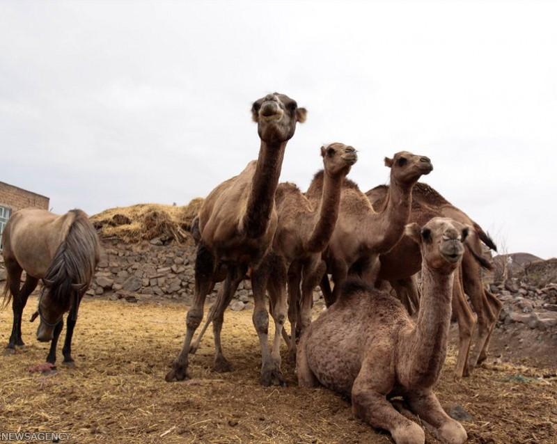 Верблюды в провинции Ардебиль в Иране